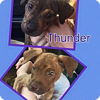 Adopt A Pet :: Thunder - Scottsdale, AZ
