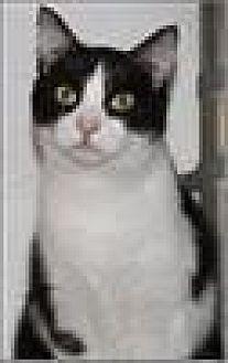Domestic Shorthair Cat for adoption in Freeport, New York - Bradley