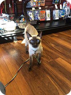 Siamese Cat for adoption in Voorhees, New Jersey - George-PetValu Voorhees