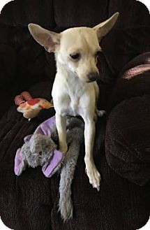 Italian Greyhound/Chihuahua Mix Puppy for adoption in Avon, New York - Lacey