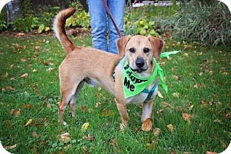 Dachshund/Beagle Mix Dog for adoption in Fort Atkinson, Wisconsin - Gimli