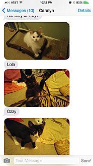 Domestic Mediumhair Kitten for adoption in Warren, Michigan - Lola