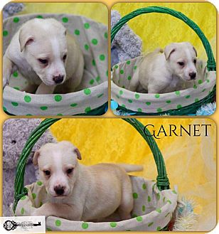 American Pit Bull Terrier Mix Puppy for adoption in DeForest, Wisconsin - Garnet