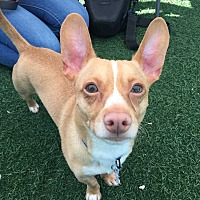 Adopt A Pet :: King - Livermore, CA