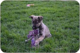 German Shepherd Dog Mix Puppy for adoption in Xenia, Ohio - Toby