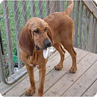 Adopt A Pet :: HILLARY - Georgetown, KY