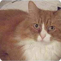 Adopt A Pet :: OJ - Kensington, MD