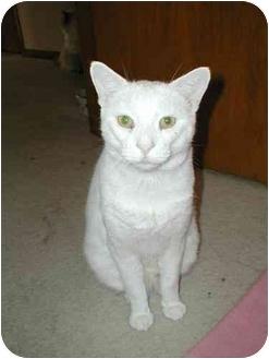 Domestic Shorthair Cat for adoption in Toronto, Ontario - Jesse
