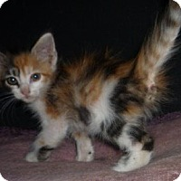 Adopt A Pet :: Goldie - Dallas, TX
