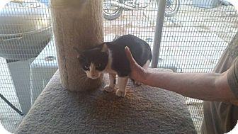 American Shorthair Kitten for adoption in Palmdale, California - Socks
