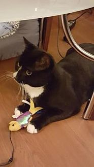 Domestic Shorthair Cat for adoption in New York, New York - Pepe