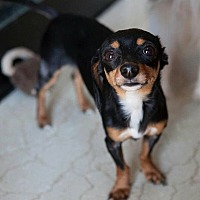 Chihuahua/Dachshund Mix Dog for adoption in Matthews, North Carolina - Blackie