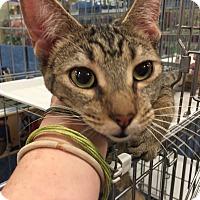 Adopt A Pet :: Annette - Chandler, AZ