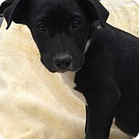 Adopt A Pet :: Jovi - Hartford, CT