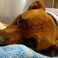 Adopt A Pet :: Violet-Anne - Staunton, VA