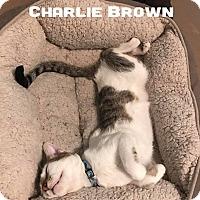 Adopt A Pet :: Charlie Brown - Wichita Falls, TX