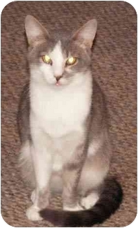 Domestic Shorthair Cat for adoption in Milford, Ohio - Renee