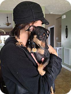 Miniature Pinscher Dog for adoption in Nashville, Tennessee - Macey