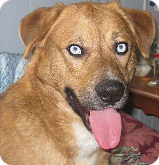 Husky/Golden Retriever Mix Dog for adoption in Carey, Ohio - GIZZMO
