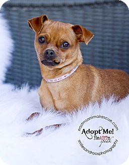 Pug/Chihuahua Mix Dog for adoption in Groton, Massachusetts - Mortisha