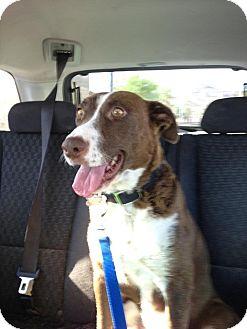 English Springer Spaniel/Labrador Retriever Mix Dog for adoption in Scottsdale, Arizona - Zara
