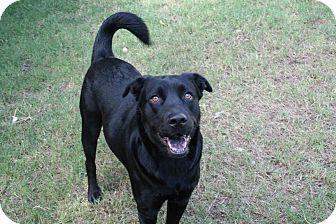 Labrador Retriever/German Shepherd Dog Mix Dog for adoption in San Antonio, Texas - Squiddles