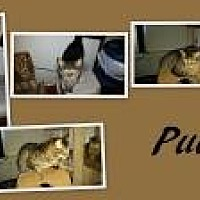 Domestic Shorthair Cat for adoption in Ashland, Ohio - Puck
