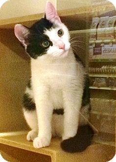 Domestic Shorthair Kitten for adoption in Lake Elsinore, California - Hardy