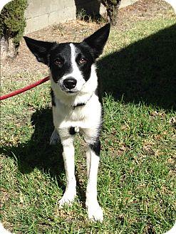 Border Collie Dog for adoption in San Pedro, California - ARIEL