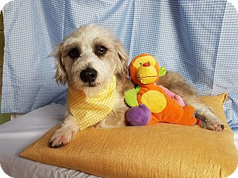 Schnauzer (Miniature)/Spaniel (Unknown Type) Mix Puppy for adoption in San Diego, California - Bruno