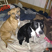Adopt A Pet :: Bella - Greenville, OH