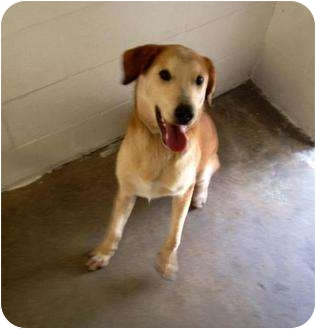 Collie/Husky Mix Dog for adoption in Winter Haven, Florida - Lacey