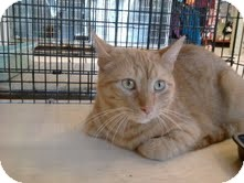 Domestic Shorthair Cat for adoption in East Brunswick, New Jersey - Baby