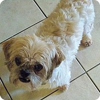 Shih Tzu Dog for adoption in Jacksonville, Florida - Stephen