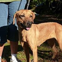 Hound (Unknown Type)/Labrador Retriever Mix Dog for adoption in Conway, South Carolina - Mindy