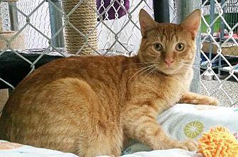 Domestic Shorthair Cat for adoption in Freeport, New York - Sweet Potatoe