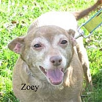 Adopt A Pet :: Zoey - Warren, PA