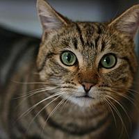 Adopt A Pet :: Sherlock Holmes - Canoga Park, CA