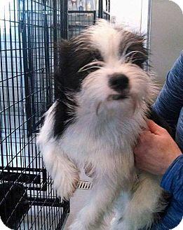Shih Tzu/Cairn Terrier Mix Dog for adoption in E. Wenatchee, Washington - Timmy