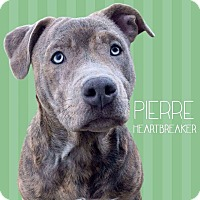 Adopt A Pet :: Pierre - Troy, MI
