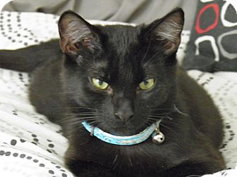 Domestic Shorthair Cat for adoption in Lindsay, Ontario - Leonard