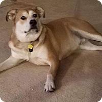 Adopt A Pet :: Archie's Porkchop - Las Vegas, NV