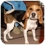 Photo 1 - Beagle Puppy for adoption in Portland, Oregon - Isabelle (Izzy)