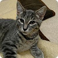 Adopt A Pet :: Meredith Grey - New Egypt, NJ