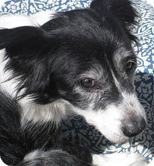 Border Collie Mix Dog for adoption in Clayton, California - Emmylou