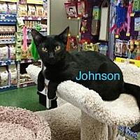 Bombay Cat for adoption in Satellite Beach, Florida - Johnson