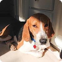 Adopt A Pet :: Huey - Manhasset, NY