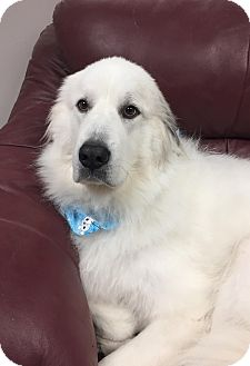 Great Pyrenees Mix Dog for adoption in Glastonbury, Connecticut - Destiny