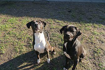 Labrador Retriever Mix Dog for adoption in Orlando, Florida - Deuce