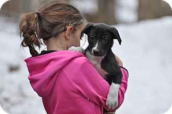 Labrador Retriever Mix Puppy for adoption in Sparta, New Jersey - Bowie